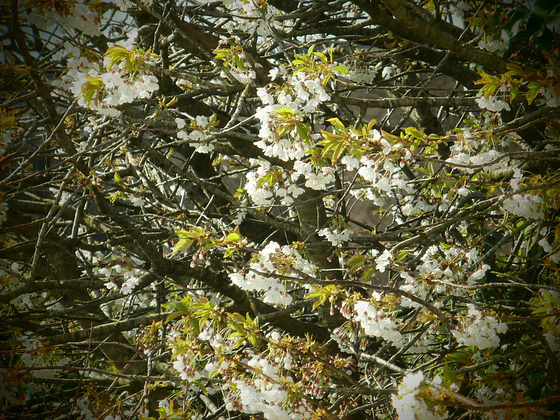 Some of the blossom from my bedroom