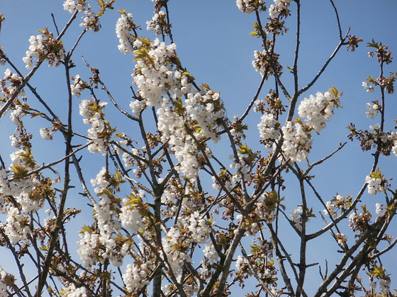 The blossom looks lovely against the blue sky