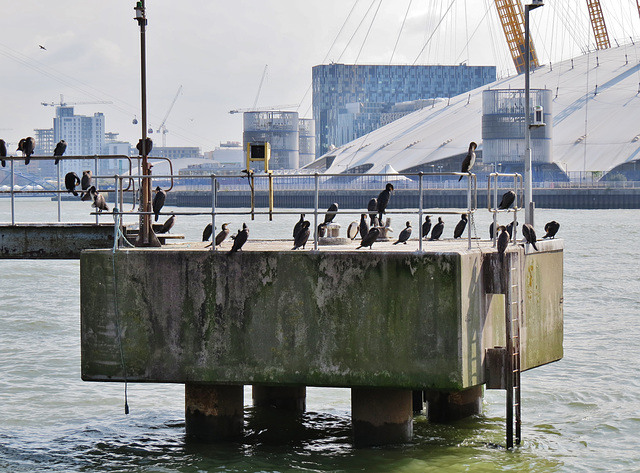 cormorants , thames, london