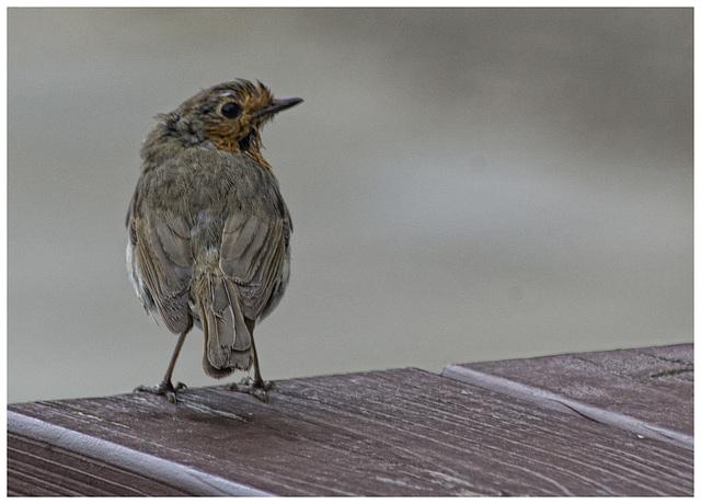 Rather ragged Robin