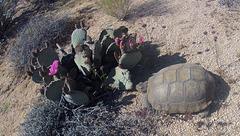 Desert Tortoise (0009)