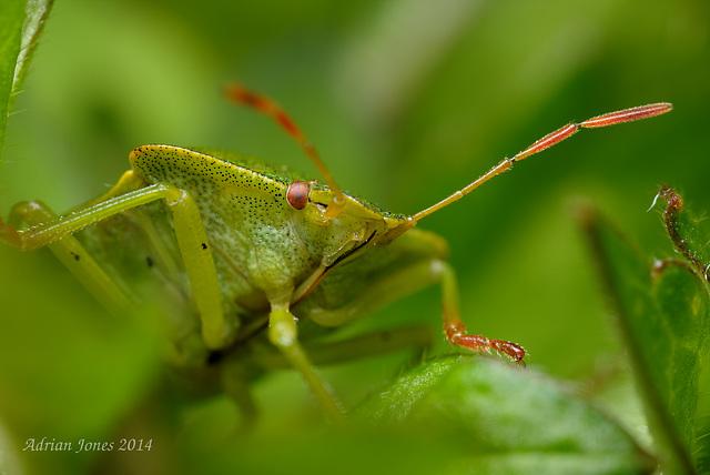 Common Green Shieldbug (Palomena prasina).