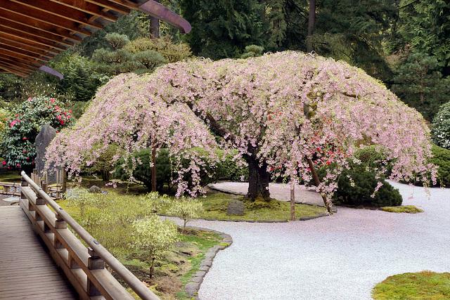 Ipernity Weeping Cherry Tree In Full Bloom Japanese Garden