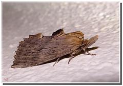 Pterostoma palpina (Notodontidae).