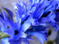 Hyacinthus L.