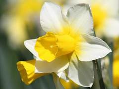 Narcissus 'Silver Chimes'