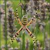 Araignée Argiope Frelon