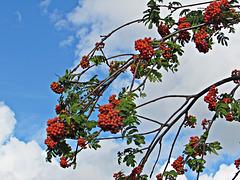 Berries Against the Sky