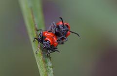 """Scarlet Lili Beetle """"Lilioceris lilii"""""""