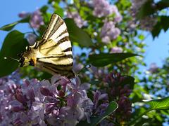Il y a beaucoup de papillons cette année !!..