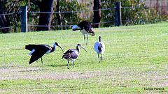 Four ibises