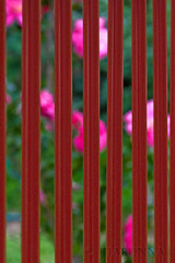 The fence and the flowers