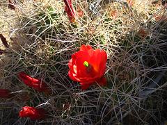 Cactus Flower (5871)