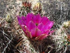 Cactus Flower (5926)
