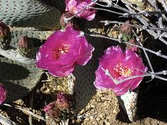 Cactus Flowers (5914)