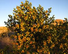 Creosote At Sunrise (5955)