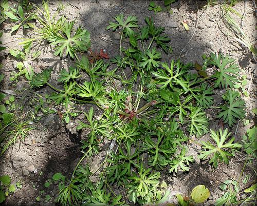 Geranium dissectum -  géranium découpé 32743565.a6ff9eca.500
