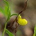 Cypripedium parviflorum (Small Yellow Lady's-slipper orchid)