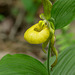 Cypripedium pubescens (Large Yellow Lady's-slipper orchid)