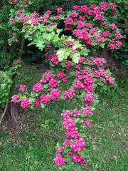 Pink hawthorn blossom