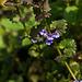 20140423 1453VRMw [D-LIP] Gundelrebe (Glechoma hederacea) [Gundermann], UWZ, Bad Salzuflen