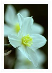 Narzissus poeticus