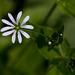 20140423 1416VRMw [D-LIP] Hain-Sternmiere (Stellaria nemorum), UWZ, Bad Salzuflen
