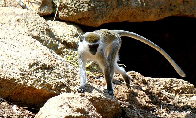 Vervet monkey 6