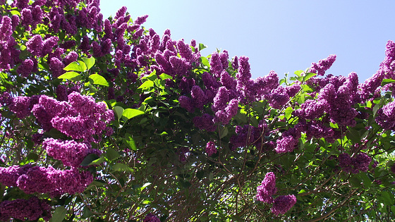 The dark purple lilac trees