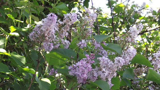 The pale purple lilac trees are there