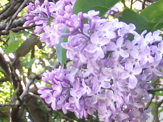 Close up of the pale purple lilac