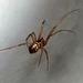 Spider - Possibly Neriene clathrata - Fam Linyphiidae