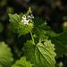 20140416 1254VRAw [D-LIP] Knoblauchrauke (Alliaria petiolata), Stumpfer-Turm, Bad Salzuflen