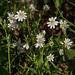 20140416 1243VRAw [D-LIP] Große Sternmiere (Stellaria holostea), Hühnerwiem-