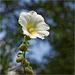 Weiße Stockrose