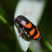 Froghopper - Cercopis vulnerata - family cercopidae