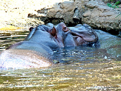 Hippo affection