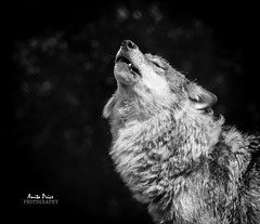 Wolf howling [Explore]