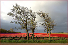 tulipfields and group of trees
