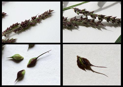Echinochloa crus-galli- Panic crête de coq