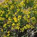 Yellow Flowering (5833)
