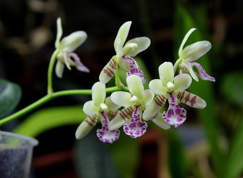 Sedirea japonica (3)