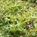 Common Twayblades @ Marline Valley NR