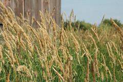Tall Grass by the Barn