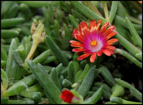 Delosperma WOW ' Garnet' Jewel of Desert