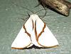 Thalaina selenaea (Satin Moth)