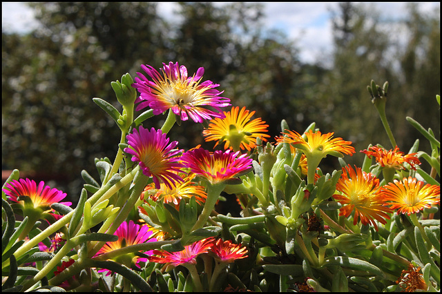 Delosperma WOW ' Hot Pink Wonder '