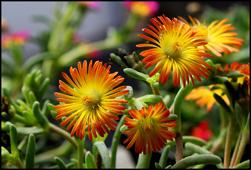 Delosperma WOW 'Orange Wonder '