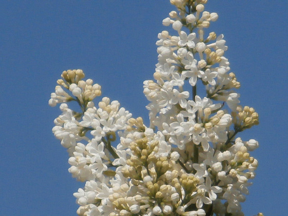 The white lilac looks good against the blue sky