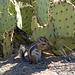Harris' antelope squirrel dining on opuntia pad